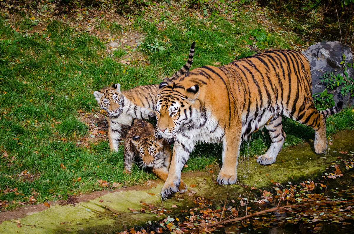 Tigress Avni has left behind two nine-month-old cubs. This is a representational image.