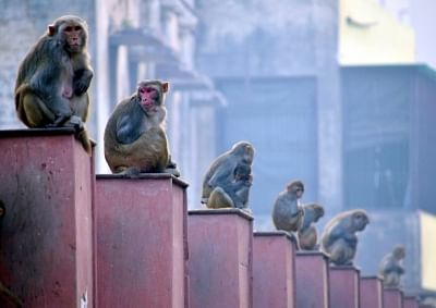 """""""Leave them alone and they will leave you alone"""", says an advisory issued by the Lok Sabha Secretariat on Monday to deal with monkey menace in its complex. (Photo: IANS)"""