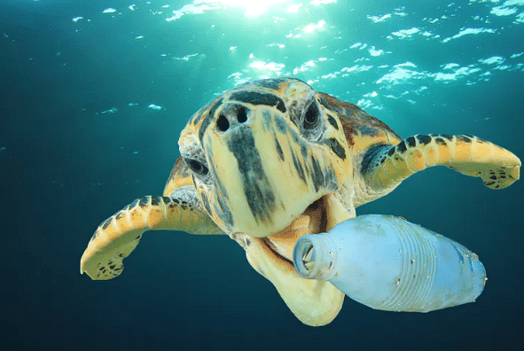 Sea turtles have not yet evolved to eat plastic – but some bacteria have.