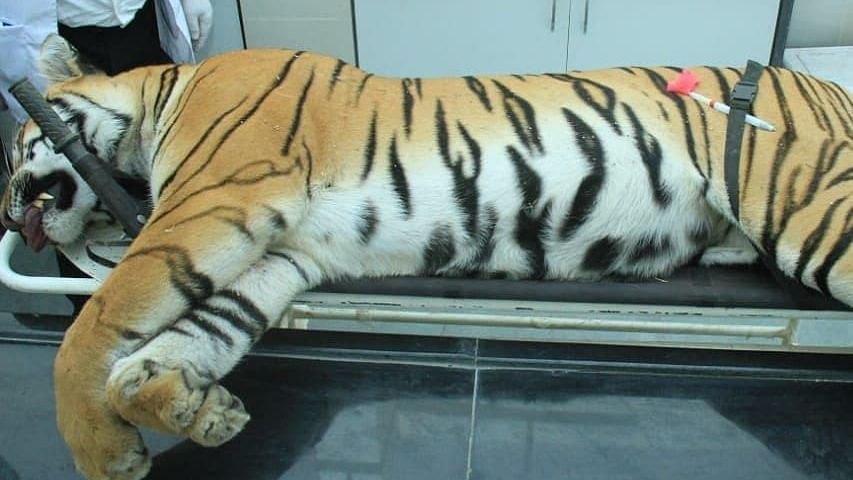 The man-eater tigress, known as T1 or Avni, was shot dead on 2 November.