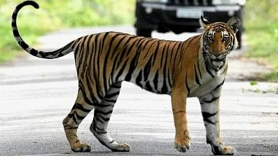 Representative image of a tiger.