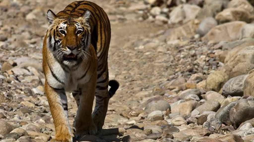 Video Shows Tigress Chasing Tourist Vehicle in Maharashtra
