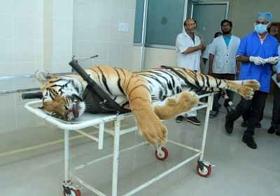 Nagpur: The carcass of tigress Avni or T1 arrives for an autopsy at Gorewada Rescue Centre in Nagpur on Nov 3, 2018. Avni or T1, who is believed to be responsible for killing and devouring 13 humans in the Pandharkawada- Ralegaon forests of Yavatmal district in eastern Maharashtra over the last two years. In September this year, the Supreme Court had said Avni or T1, as she is called, could be shot at sight, which prompted a flurry of online petitions seeking pardon for the tigress. (Photo: IANS