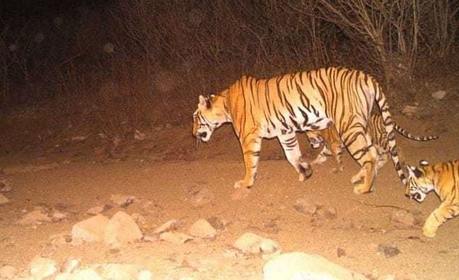 Tigress Avni with her cubs.