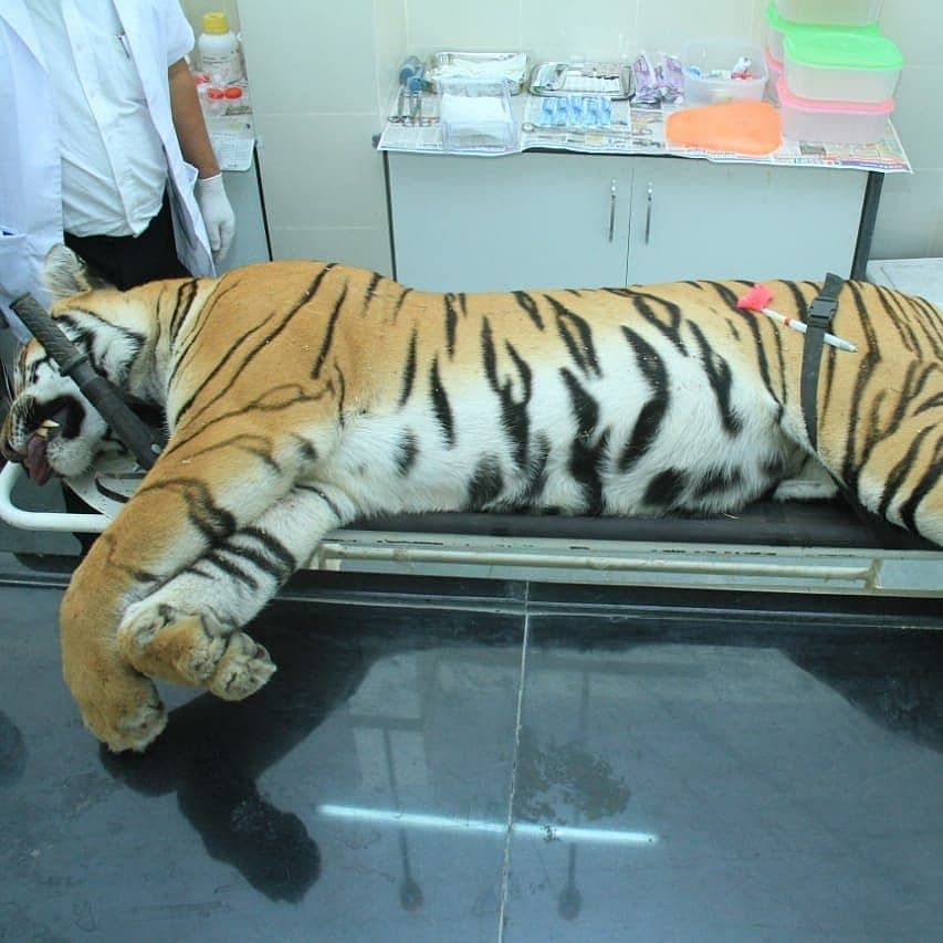Dead body of  tigress Avni.