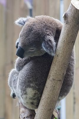 Entire koala population could be 'wiped out' by wildfire