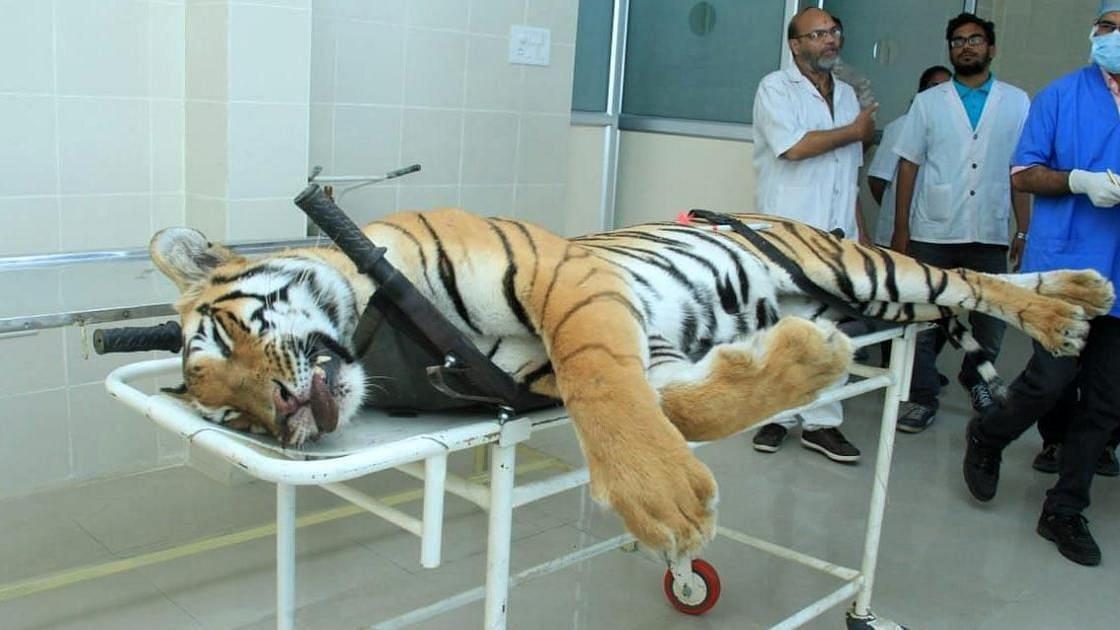 Tigress Avni Killing: Sharpshooter Violated 3 Laws, Says Report