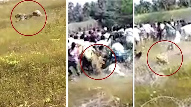 The video, which has gone viral on social media, shows a group of people assembled in a field and a leopard charging at them in full vigour.