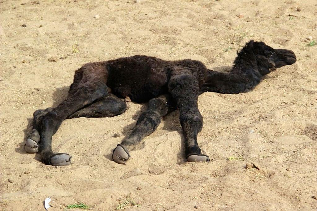 A week-old camel.