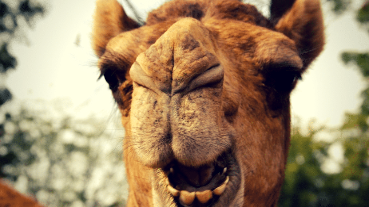Camels are vegetarian – but will occasionally take a bite out of a human hand within range!