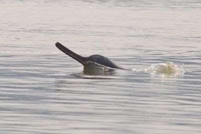 Gangetic river dolphins in the Indian Sundarbans struggle with swelling salinity