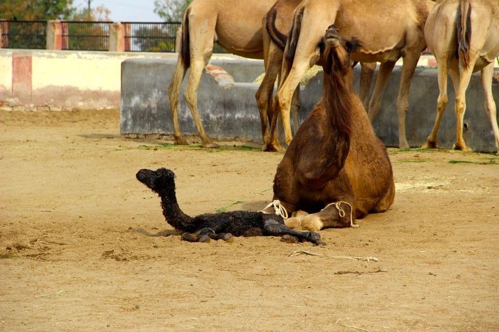 A just-born camel.