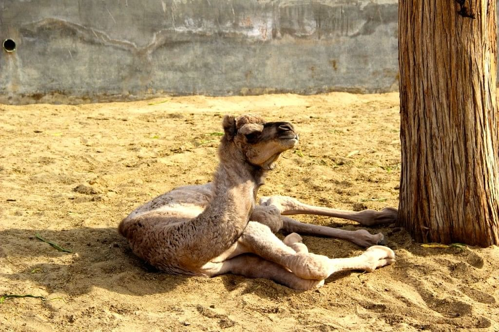A month-old camel.