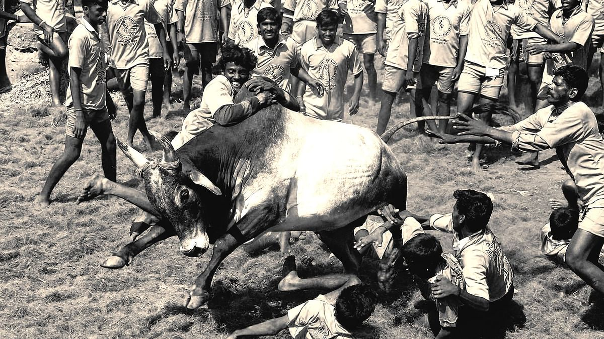 Jallikattu: What, How and Why – The History of A Contested Sport