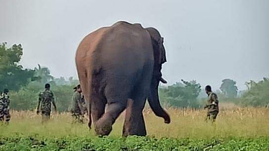 Chinna Thambi, a 25-year-old tusker who raided crops near Thadagam in Coimbatore, was tranquilised and translocated to Varagaliar forests on 26 January.