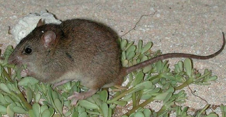The Bramble Cay melomys has officially been declared extinct.