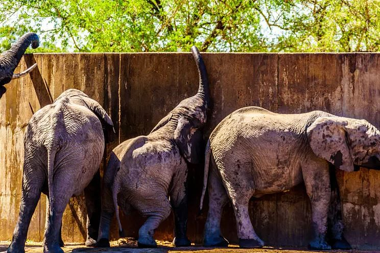 Juvenile elephants try to reach water in a storage tank in Kruger National Park, South Africa.