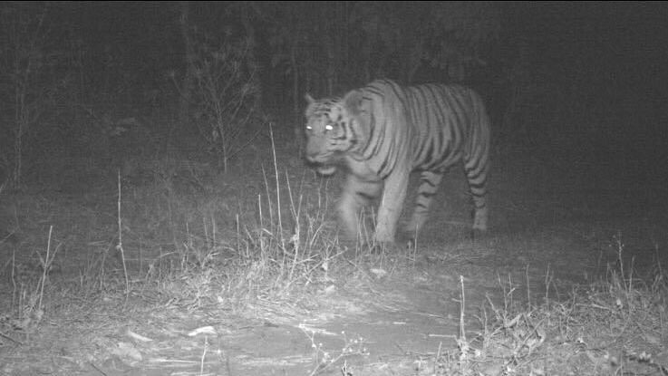 Images of the lone tiger captured on cameras set up by the forest department.