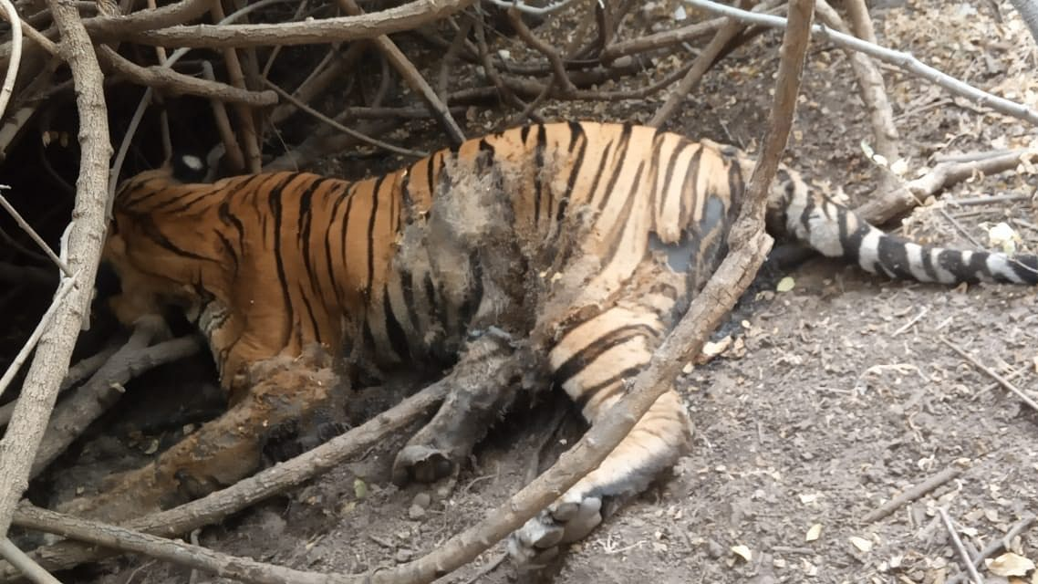 Tiger Found Dead in Gujarat is the One Caught on Cam: Forest Dept