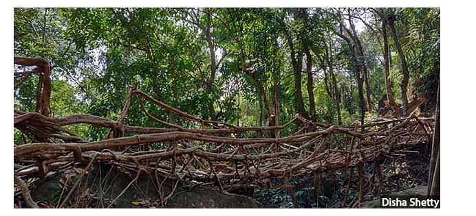 In Meghalaya, rainforests are found around Cherrapunji and Mawsynram.
