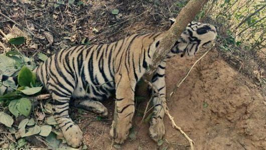 The dead tiger cub found in Kodagu.