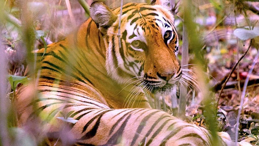 Tigers In Bangladesh Sundarbans Could Go Extinct By 2070