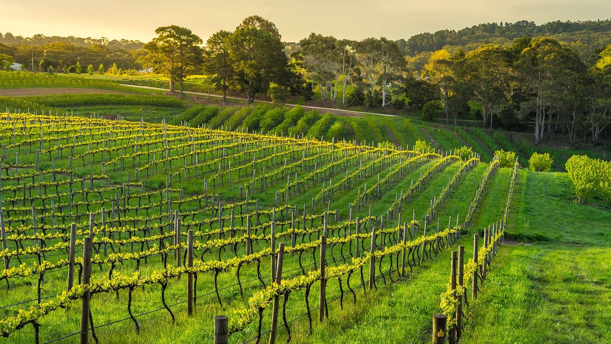 Record-breaking maximum temperatures are changing ripening times in Australia's wine regions.