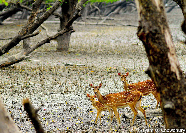Spotted deer, a key food source for the Bengal tiger, are facing food shortages as the vegetation they feed on struggles to grow in salinated land – an example of how climate change and rising sea levels is impacting the Sundarbans ecosystem.