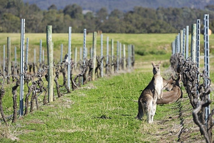 Australian wine grape varieties are becoming ready for harvest simultaneously.