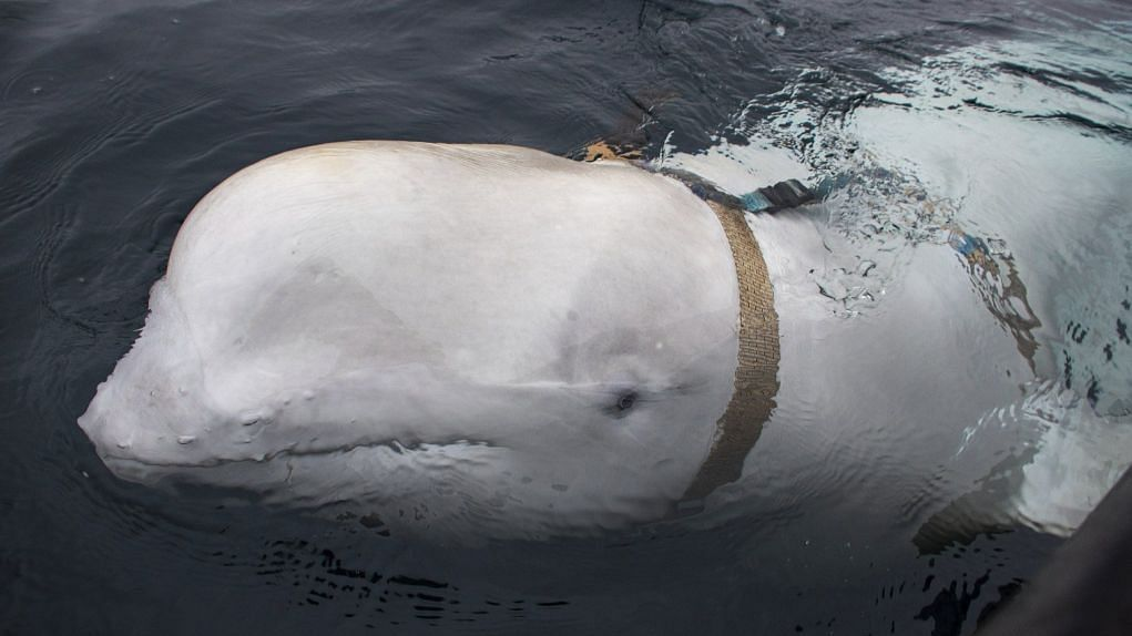 'Whale With Harness Could Be Russian Weapon': Norwegian Experts