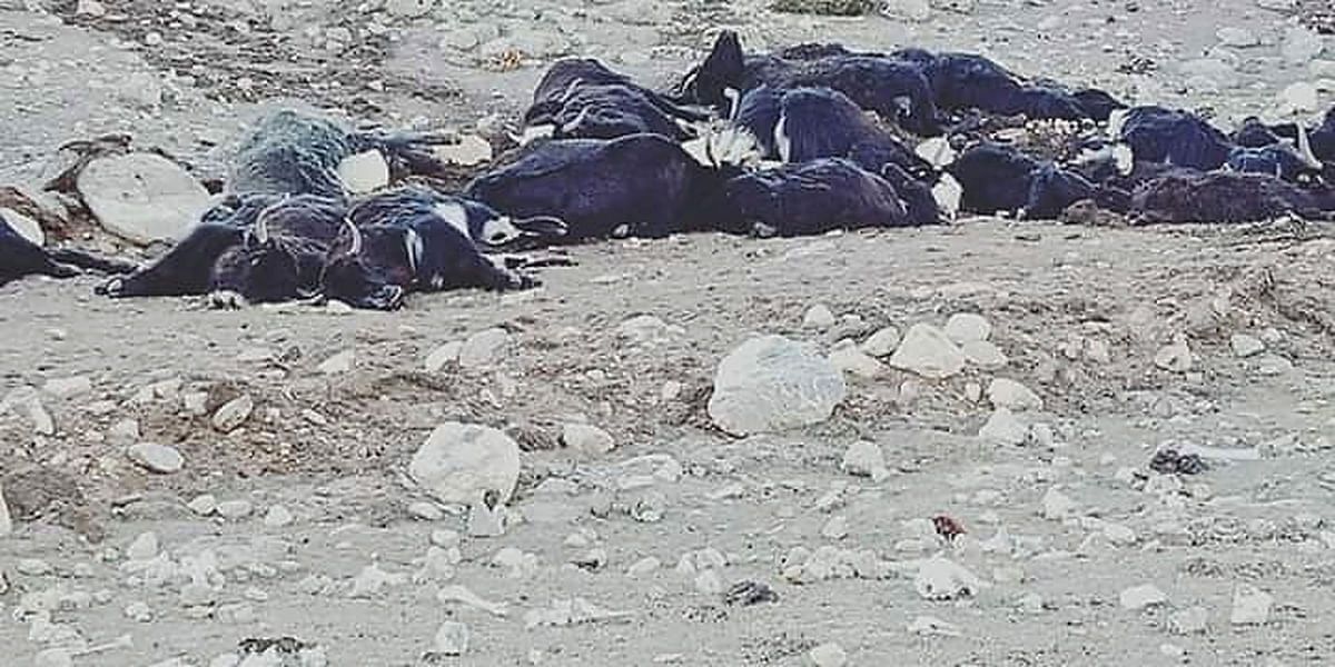 300 Himalayan Yaks Die of Starvation in Sikkim