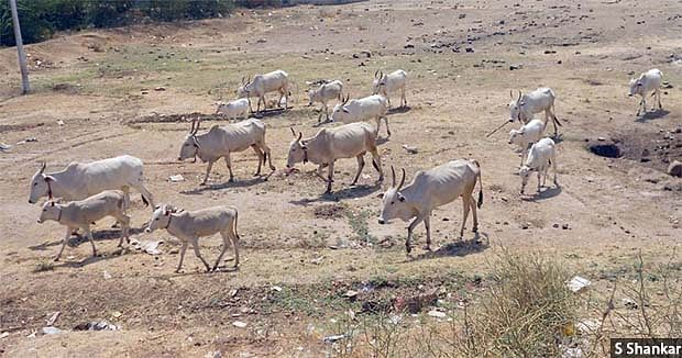 With no rains and limited or no stock in fodder banks, farmers of Athani taluka either send the cattle to their relatives in neighbouring Maharashtra or let the cattle wander in search of whatever greenery is available.