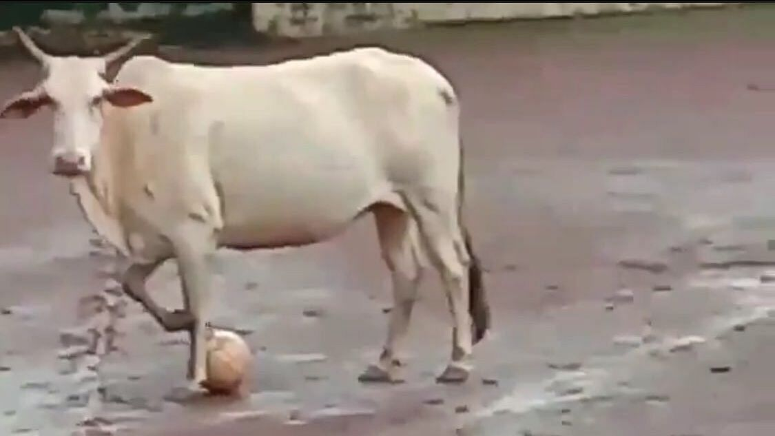 Harsha Bhogle Has Discovered A Talented Footballer and It's a Cow