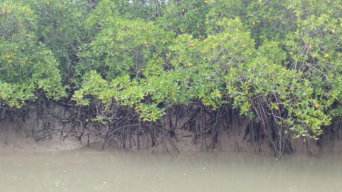 Mangroves act as an ecological barrier or bio-shield, protecting the shores from hurricanes, tsunamis and storms
