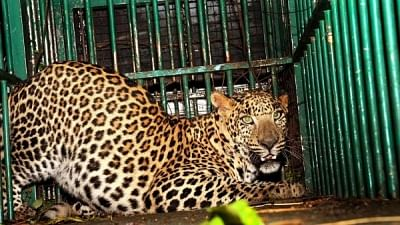 A leopard in captivity. Image used for representational purpose.