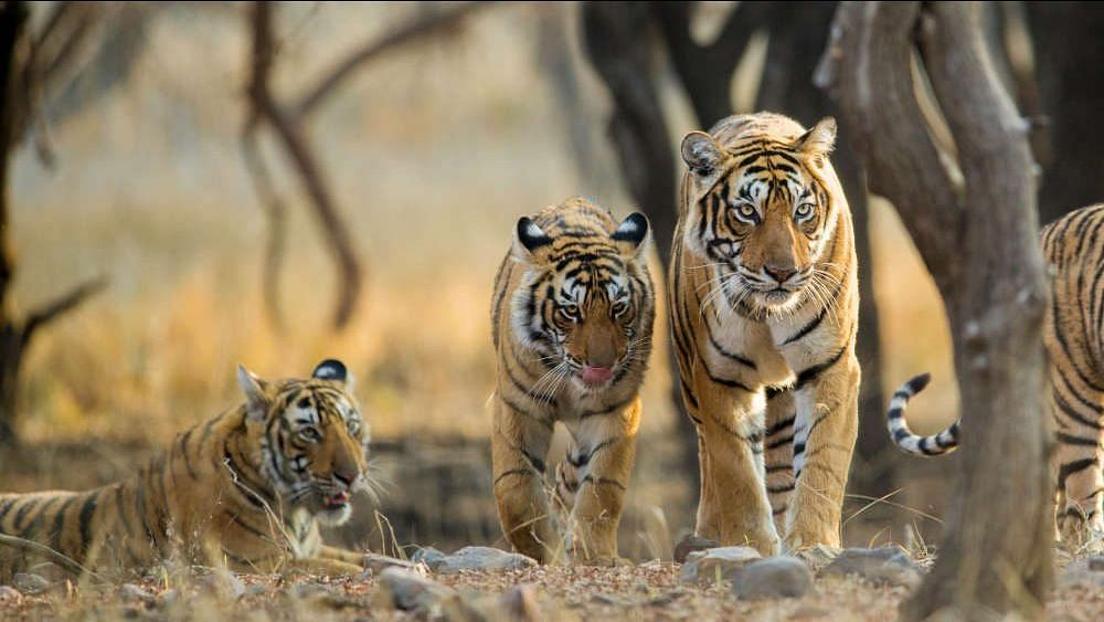 """India's tiger population more than doubled over 12 years to 2,967 in 2018, according to <a href=""""https://projecttiger.nic.in/WriteReadData/PublicationFile/Tiger%20Status%20Report_XPS220719032%20%20new%20layout(1).pdf"""">new data</a> released by Prime Minister Narendra Modi on July 29, 2019."""