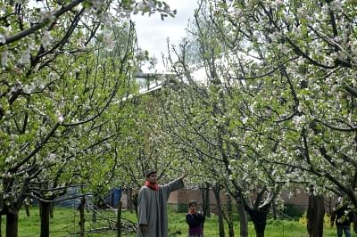 Anantnag: Apple trees in an orchard in Anantnag of Jammu and Kashmir.