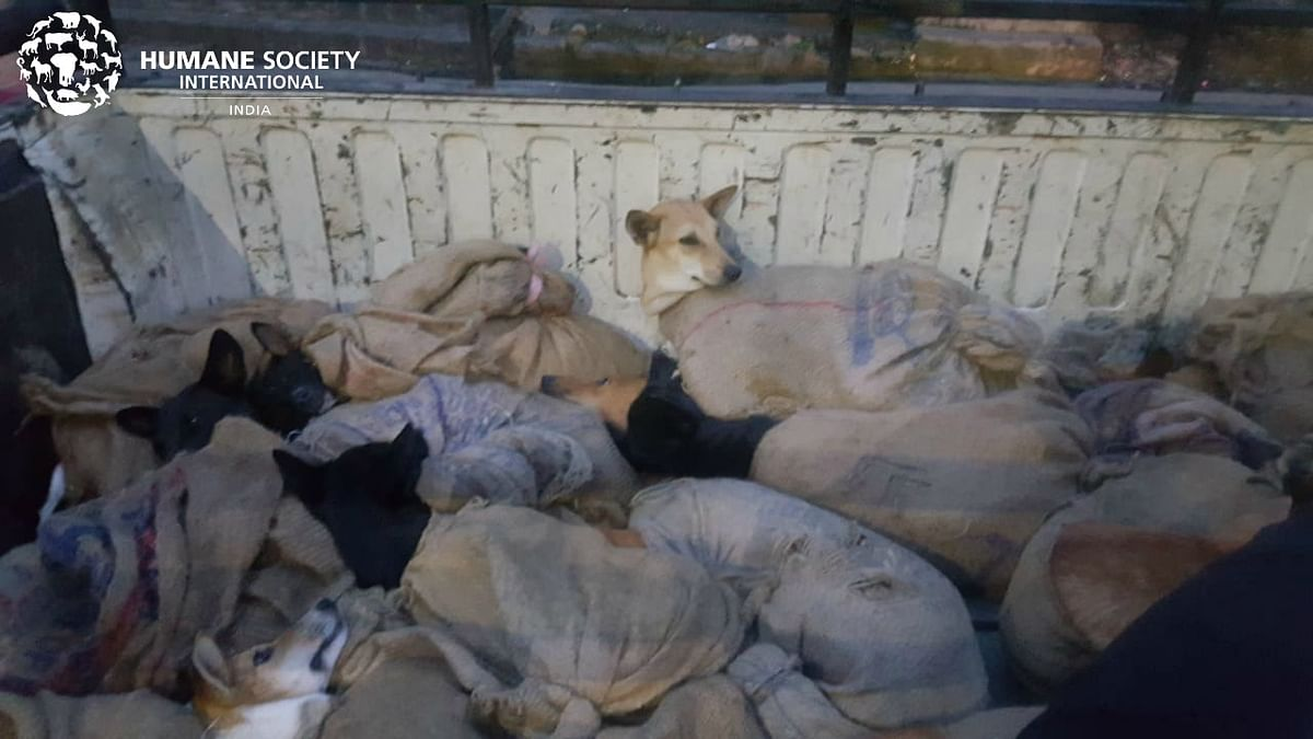 In June 2018, Humane Society International (HSI) India rescued 36 dogs from two trucks which were destined for a slaughterhouse in Aizwal, Mizoram.