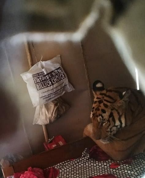A tiger reportedly strayed out of national park and ended up in a house in the flood-hit area