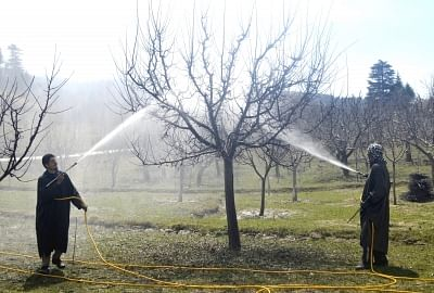 After the revocation of Article 370 apple growers in Kashmir were finding themselves in a lurch due to a communication blockade and shutdown, government came to the rescue by announcing a scheme to directly buy the fruit from the farmers through a nodal procurement agency. (Photo: IANS)