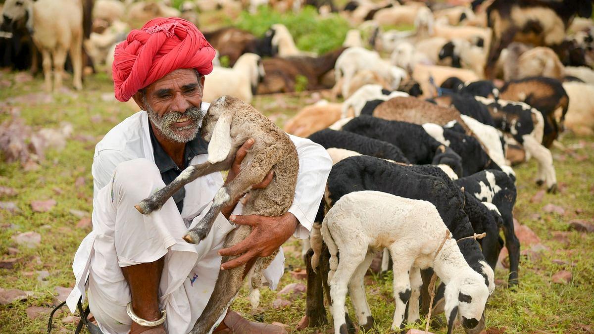 A shepherd sits near his herd of sheep, at Pratapgarh district of Rajasthan.