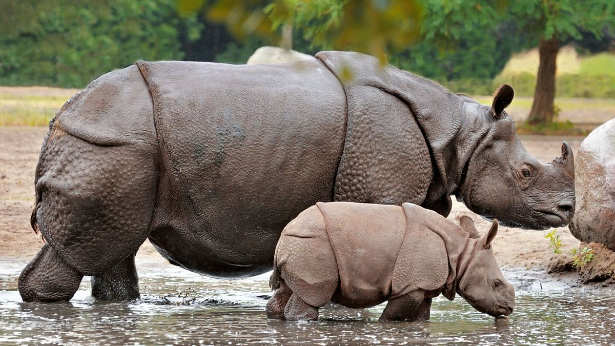 The great one-horned Rhinoceroes.