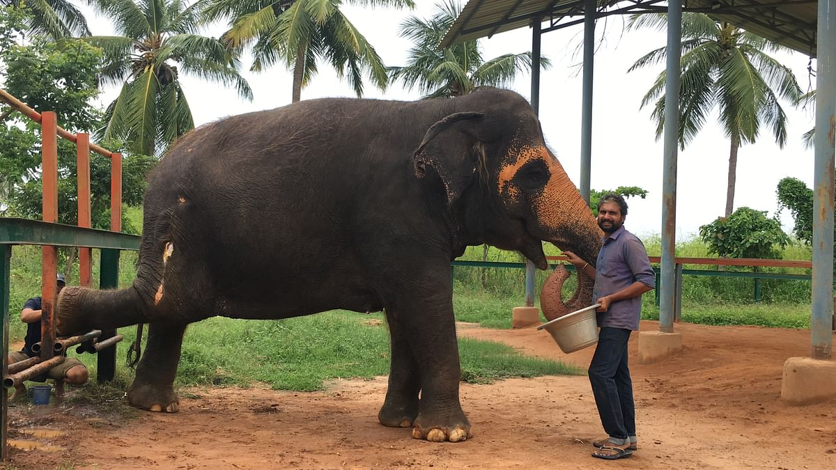 A happy Sandhya shows her foot to get her pain relieved as her favourite mahout feeds her treats. Taken on 18 September 2019.