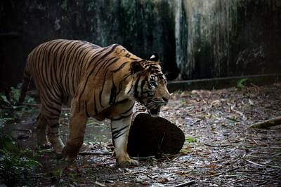 YANGON, July 30, 2019 (Xinhua) -- A tiger is seen at the Yangon Zoological Gardens in Yangon, Myanmar, July 30, 2019. At least 22 tigers remained in Myanmar, said the Forest Department Tuesday quoting its recent survey that covered 8 percent of the tiger habitat in the country. The figure came as the department under the Ministry of Natural Resources and Environmental Conservation (MNREC) observed the World Tiger Day in Nay Pyi Taw Monday. (Xinhua/U Aung/IANS)