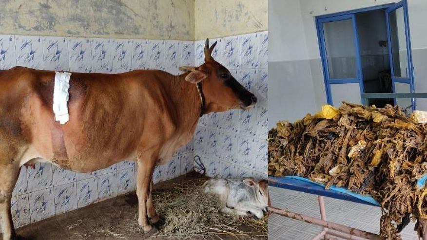 In 5-Hour Surgery, 52 kgs of Plastic Removed from Cow's Stomach