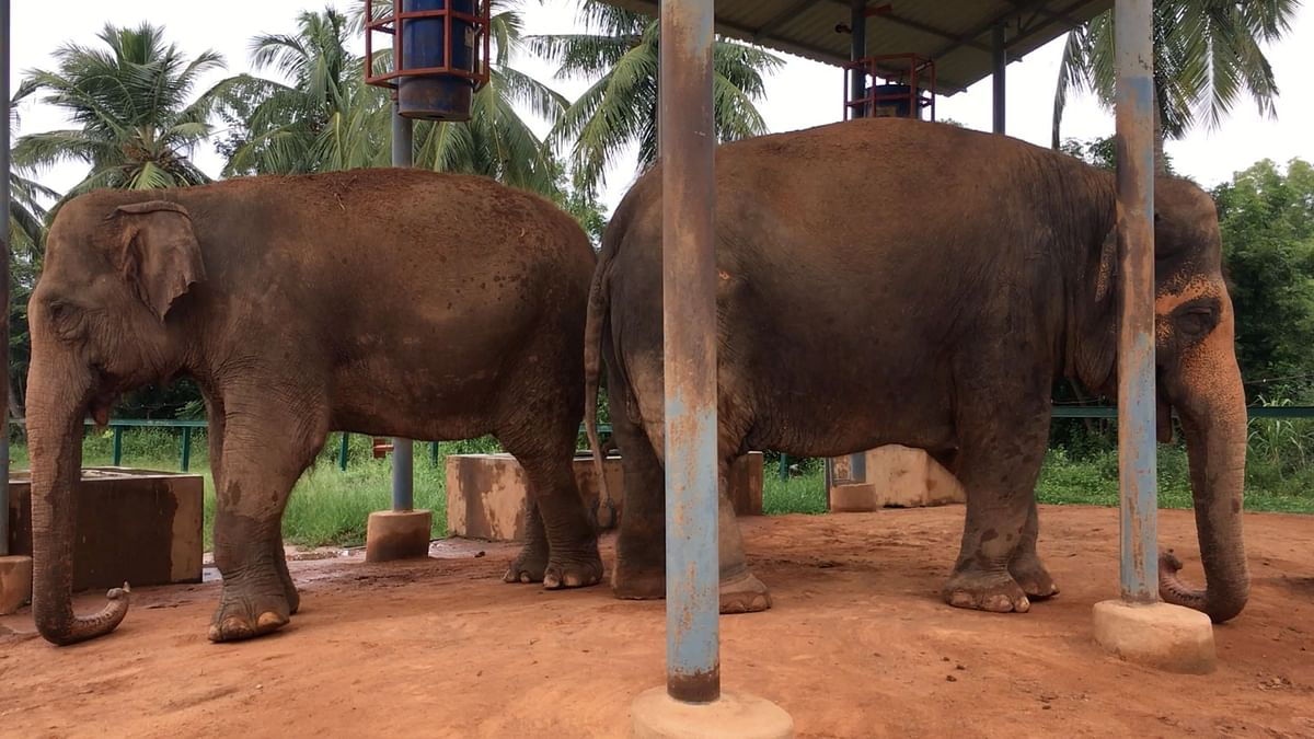 Abused Elephants Tasted Freedom, Then a Court Put Them in Chains