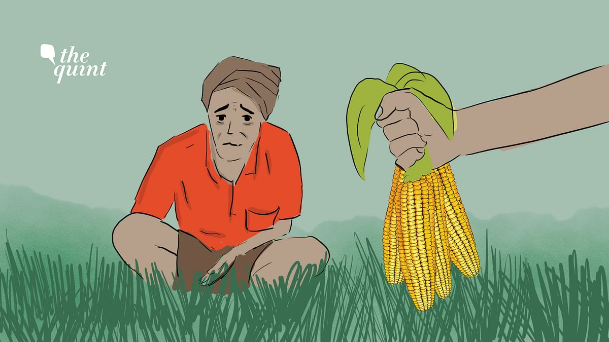 Forcing farmers in Punjab and Haryana to switch from rice to maize to curb pollution has its own set of challenges.