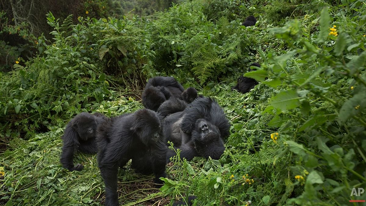 Members of a family of mountain gorillas.