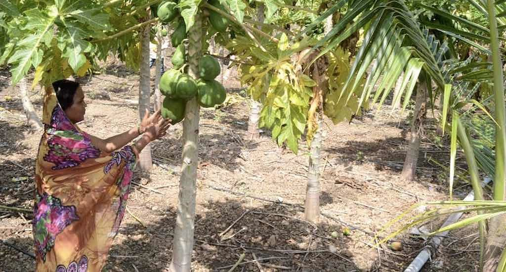 Besides vegetables, lentils and condiments, some farmers have diversified into papaya plantations