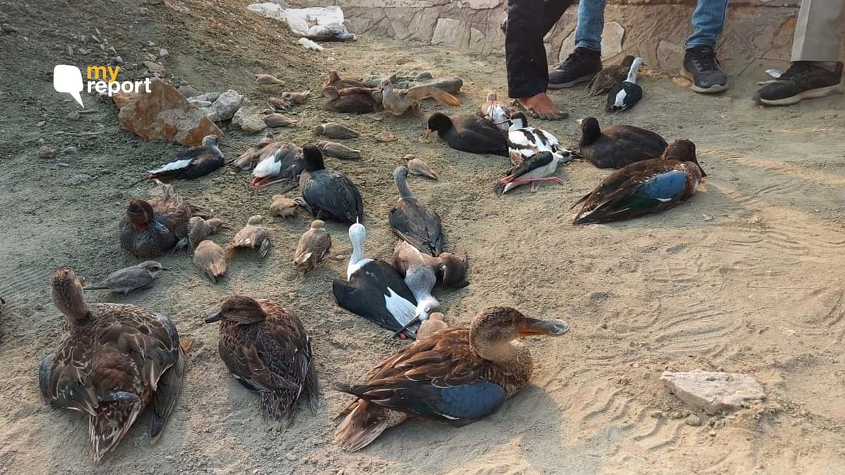 Nearly 17,000 birds were found dead at Sambhar Lake.